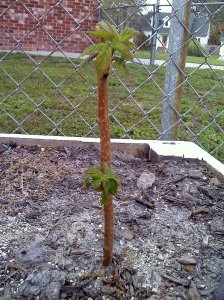 Newly planted raspberry cane