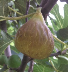 Over ripe Celeste fig