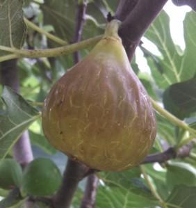 Over ripe Celeste fig