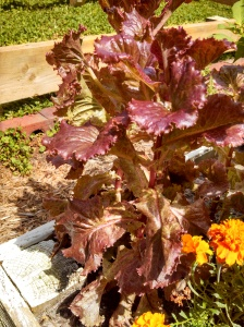Red Sails lettuce ~ in July!