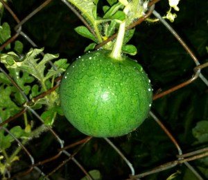 Red watermelon ~ growing on my fence
