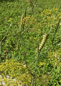 Black Swallowtail caterpillars on dill