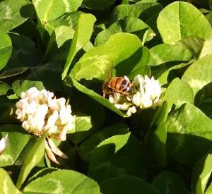 Bee on clover