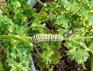 Black Swallowtail Caterpillar on my parsley