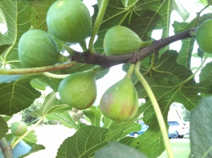 Celeste figs ripening