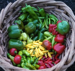Harvest August 10