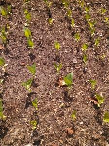 Henderson lima bean seedlings