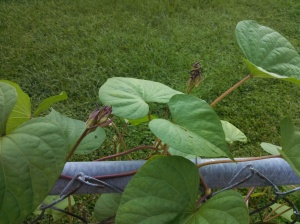Moonflower buds starting