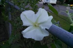 Moonflower open