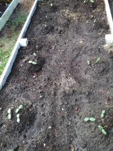 Winter squash seedlings