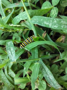 Black swallowtail caterpillar in the grass, looking for food