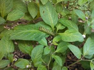 Black swallowtail caterpillar on a rocoto pepper plant