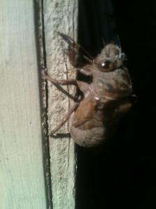 Molted cicada exoskeleton