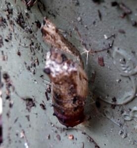 Empty black swallowtail cocoon on side of pot