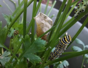 Empty black swallowtail cocoon in parsley