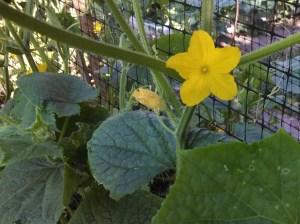 Green cucumber flower