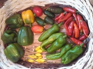 Harvest ~ August 30