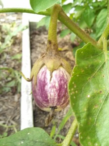 Listada de Gandia eggplant