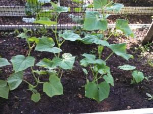 Boston pickling cucumbers climbing trellis