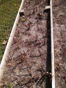 Raspberry canes pruned