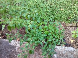 Rocoto pepper plant