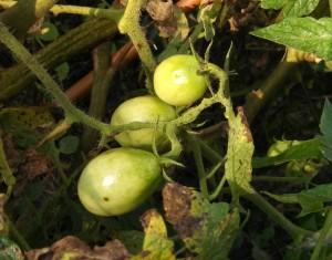 Roma tomatoes in September