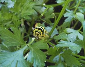 Black swallowtail caterpillar eating parsley