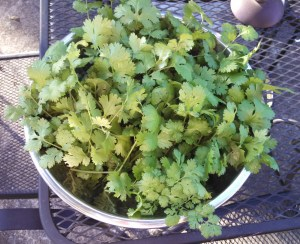 Cilantro harvest ~ October 26