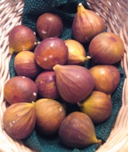 Fig harvest ~ October 25