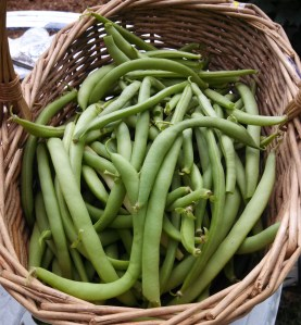 Black Valentine green bean harvest ~ October 11