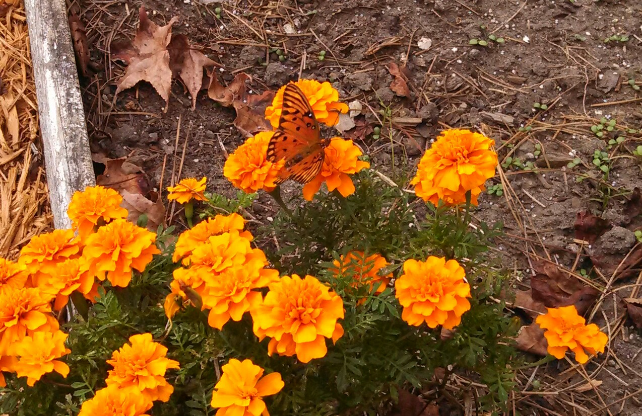Passion butterfly in my garden sanctuary gardener for Gardening is my passion