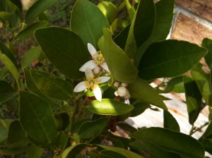 Key lime flowers