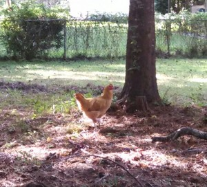 One of my neighbor's chickens
