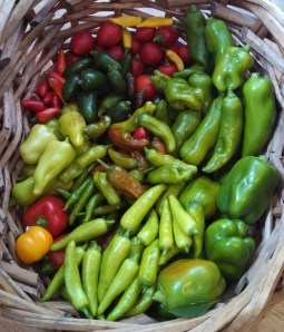 Pepper harvest ~ October 11