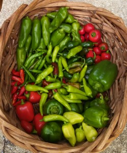 Pepper harvest ~ October 18