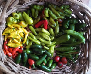 Pepper harvest ~ October 26