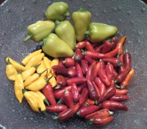 Bell-pepperoncini, fish peppers, lemon drop peppers