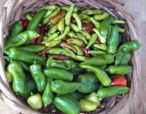 Pepper harvest October 4