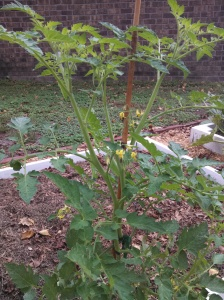 Tomato plant ~ germinated as a weed
