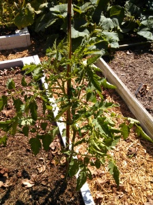 "Tomato ""weed"" staked"