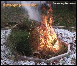 asparagus fern burning 23Nov13 SG