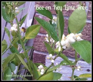 Bee on key lime tree 23Nov13 SG