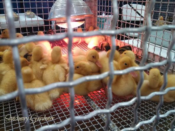 Ducklings SG