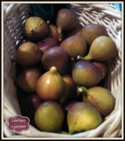 Fig harvest 6Nov13 SG