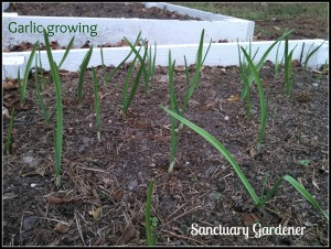 Garlic 17Nov13 SG