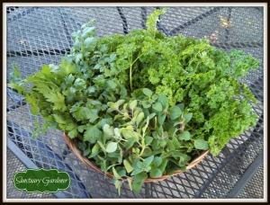 Herb harvest 10Nov13 SG