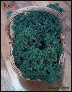 Kale harvest 24Nov13 SG