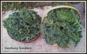 Kale harvest 9Nov13 SG