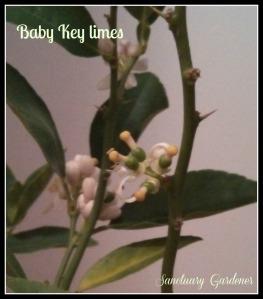 Key lime babies 2 on 23Nov13 SG