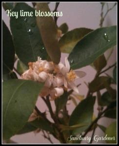 Key lime blossoms 23Nov13 SG